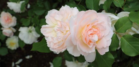 メアリーマグダレンはロゼット咲きです