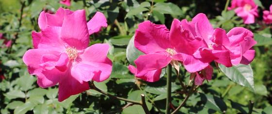 ムタビリスはチャイナ系統のバラ