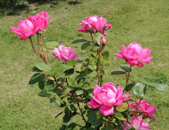 ピンクダブルノックアウトは四季咲きです