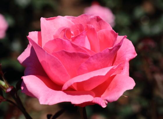 クィーンエリザベスは丸弁高芯咲きです