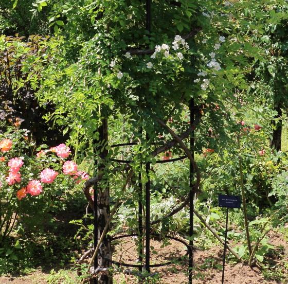 ロサセンペルウィレンスは一重咲き