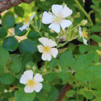 ロサ・センペルウィレンスは白色のバラ