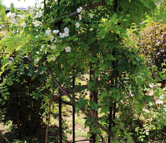 ロサセンペルウィレンスは白色のシンプルな花