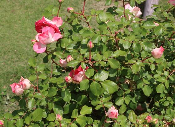 るるは四季咲き性