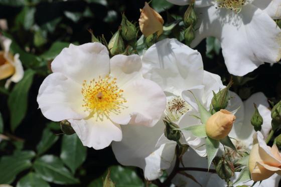 サリーホームズは半八重咲き品種です