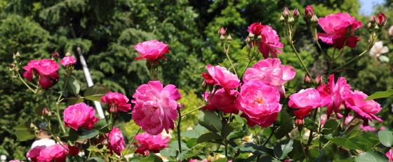 四季咲き性です