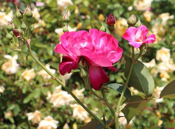 ソフィーズパーペチュアルはチャイナ系統のバラ