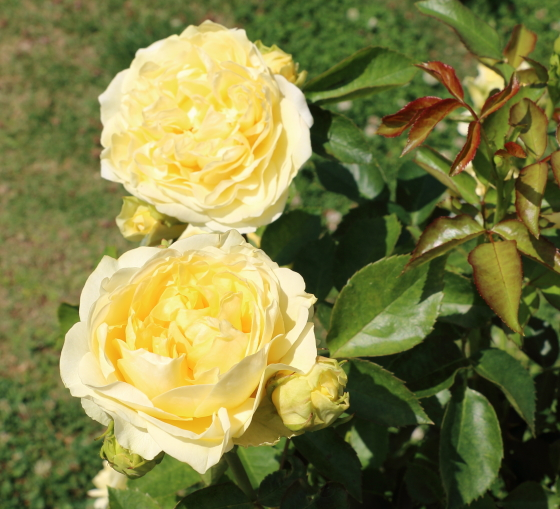 サンライトロマンティカはロゼット咲きです