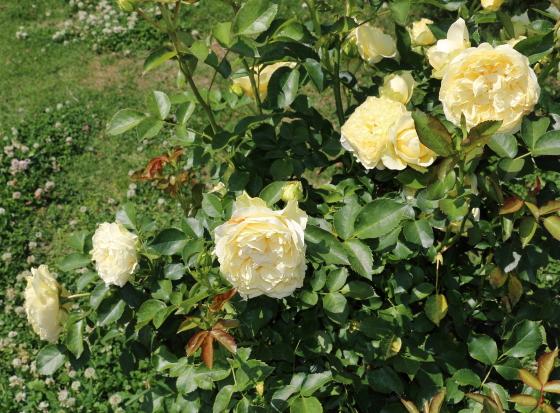 サンライトロマンティカは四季咲き性です