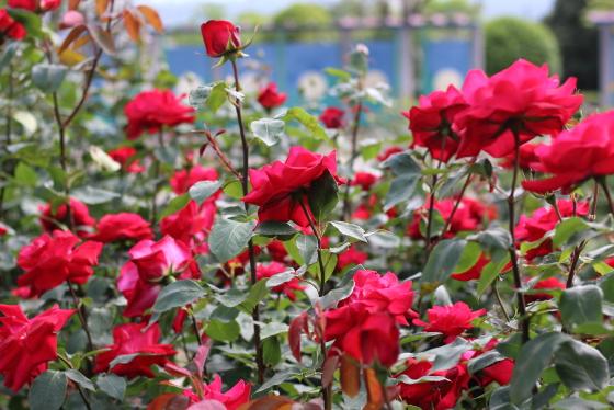 宴は赤色のバラ