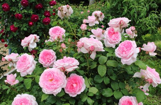 ワイフオブローズは四季咲きです