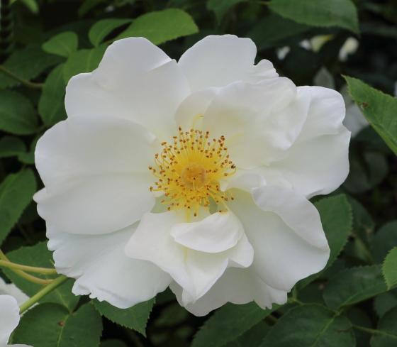 ウィンドラッシュはシュラブ系統のバラ