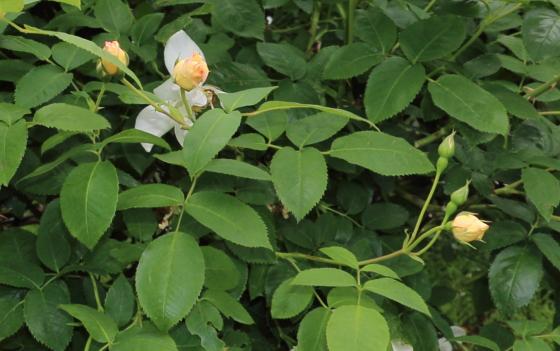 ウィンドラッシュは四季咲き性です