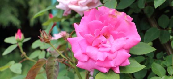 ゼフィリーヌドルーアンは一季咲きです