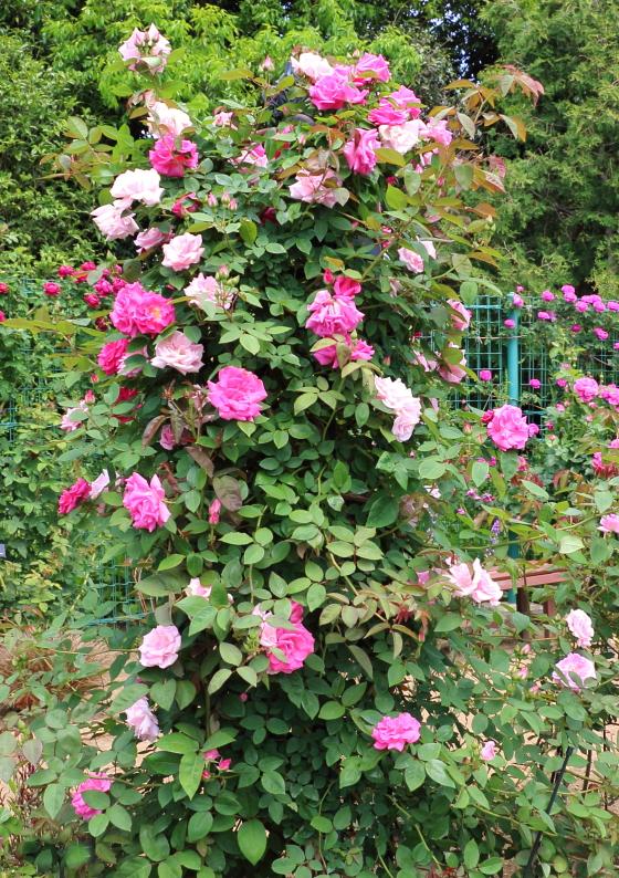 ゼフィリーヌドルーアンは中輪サイズの花径