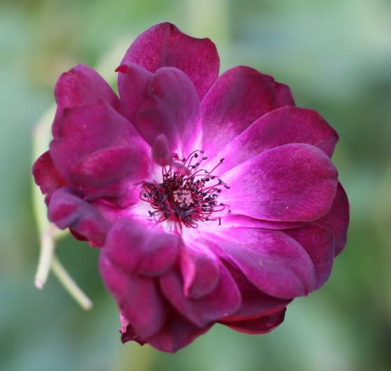 バーガンディアイスバーグは四季咲きです