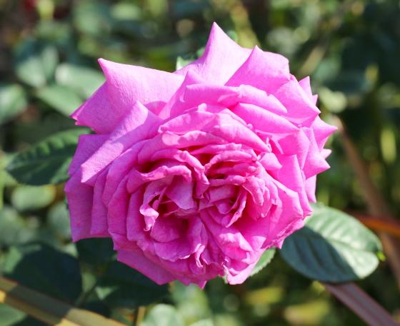 シャルトルーズドゥパルムは四季咲き