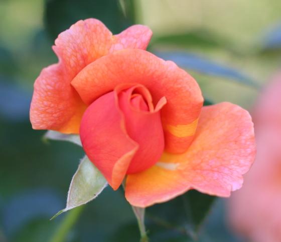 イージーダズイットは四季咲き性です