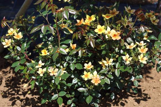 エミリールイーズは一季咲き