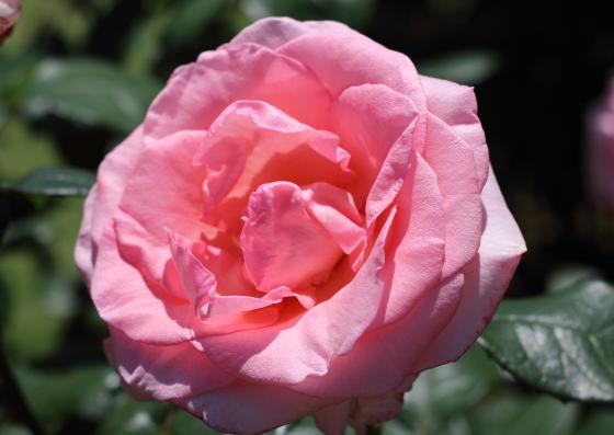 フラミンゴはピンク色のバラ