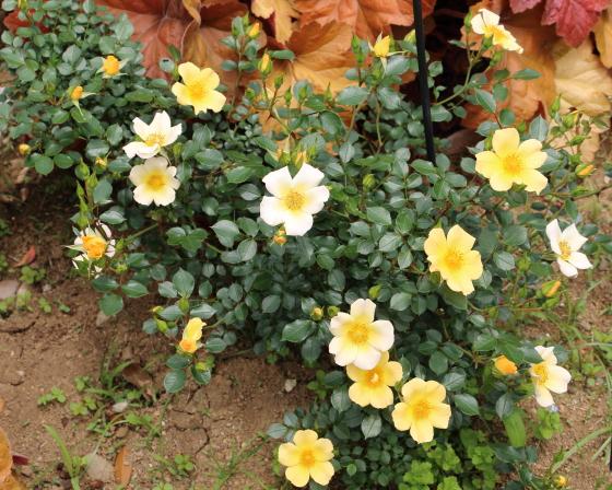 ゴールデンチャッピーは四季咲き