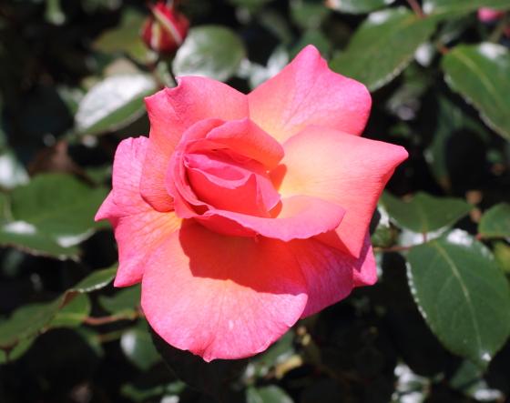サーモンピンク色のバラ