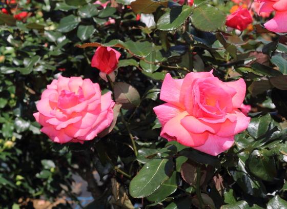 ゴードンズカレッジは四季咲き