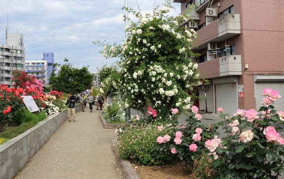 生田緑地ばら苑への歩道に咲くバラ