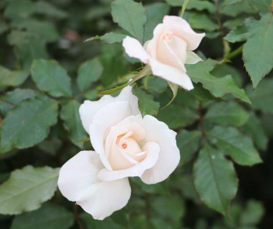 ジューンブライドは四季咲き