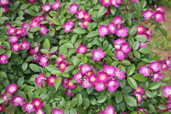小紫は四季咲き