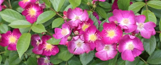 小紫はモダンローズの品種群の一つ