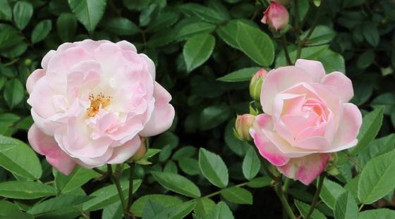 マルゴシスターは四季咲き