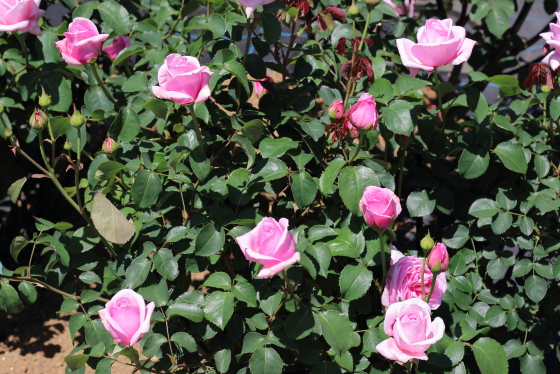 プリティジェシカはロゼット咲き
