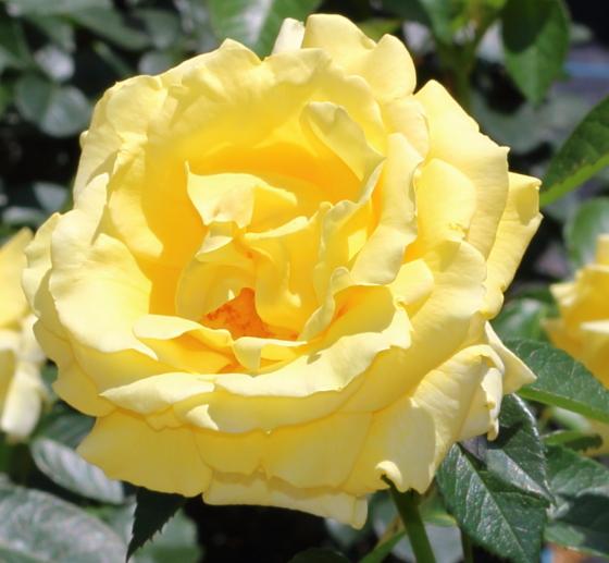 プリンセスマイケルオブケントは四季咲き