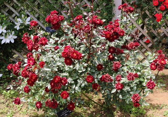 レッドミニモは四季咲き性