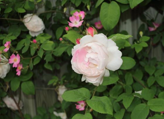 ルドゥーテは四季咲き