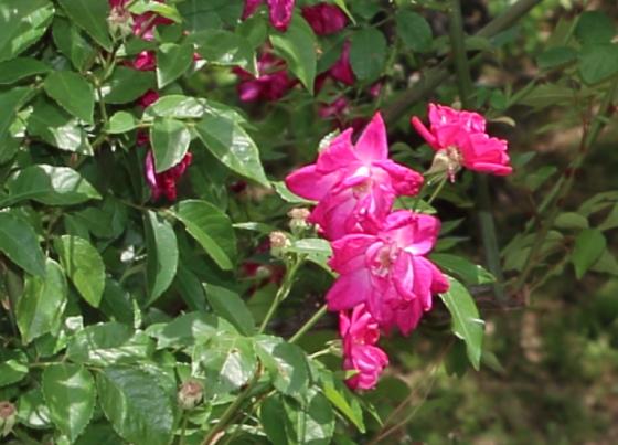 ロサキネンシスは返り咲き