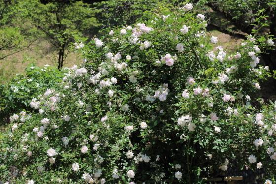 ロサキネンシス アルバは一季咲き