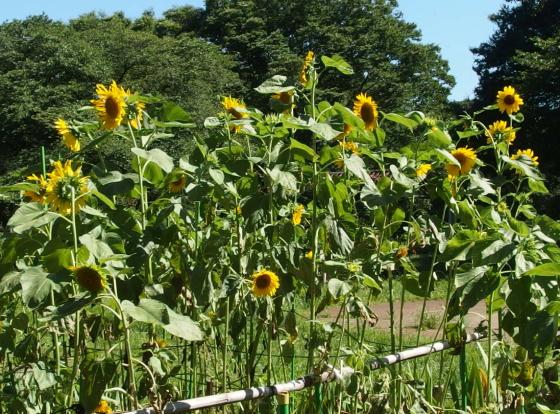 ヒマワリは日輪草とも呼ぶ