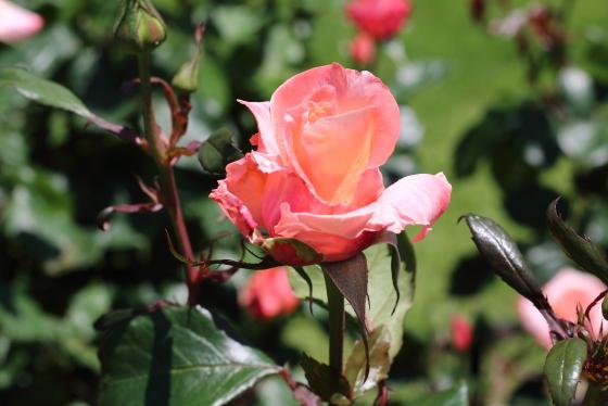 タンジェリーナは四季咲き