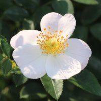 雪っ子は四季咲き性