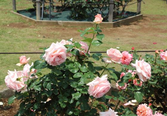 生田緑地ばら苑の風景