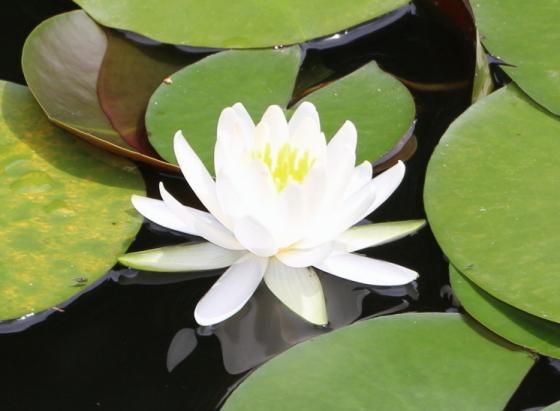スイレンは水生植物です
