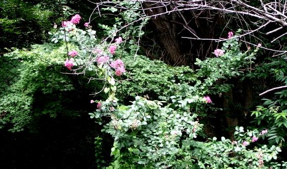遠目に分りづらいか多分サルスベリの花