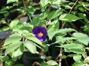 ツンベルギア・エーレクタはヤハズカズラ属です