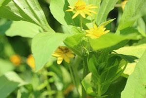 メランポジウムは黄色い花を咲かせる