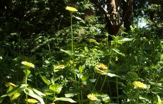 ジニアは一年草です