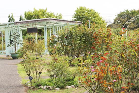 大船植物園の秋バラ
