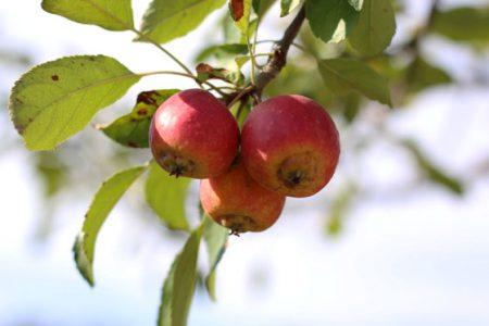 ローズヒップはバラの果実です