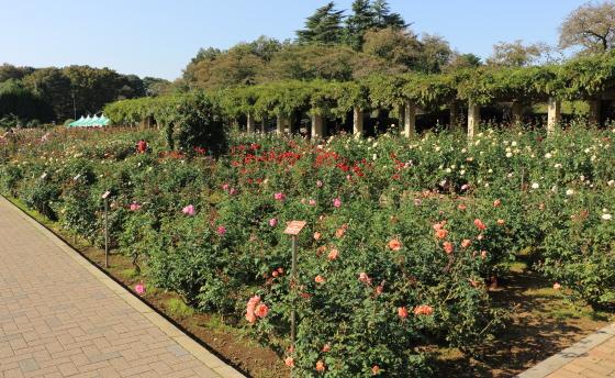 神代植物公園の秋バラが咲く